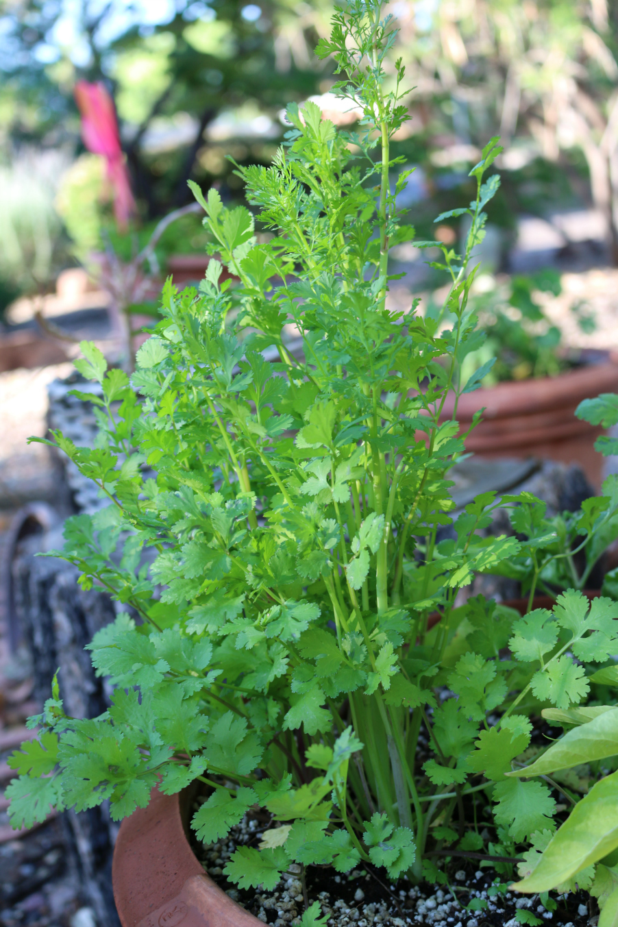 A Cilantro Herb reseeded from last year's crop