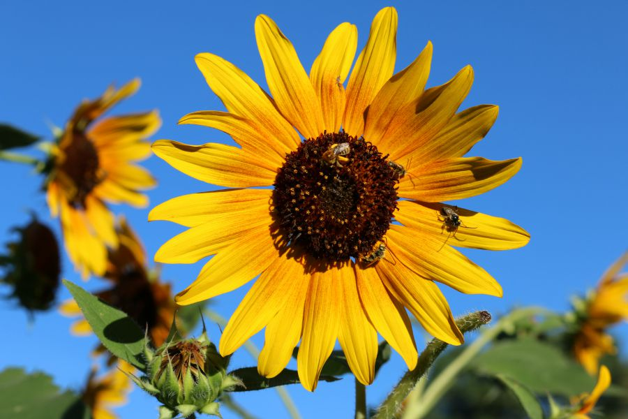 More sunflowers from my garden, the bees are in their happy place.