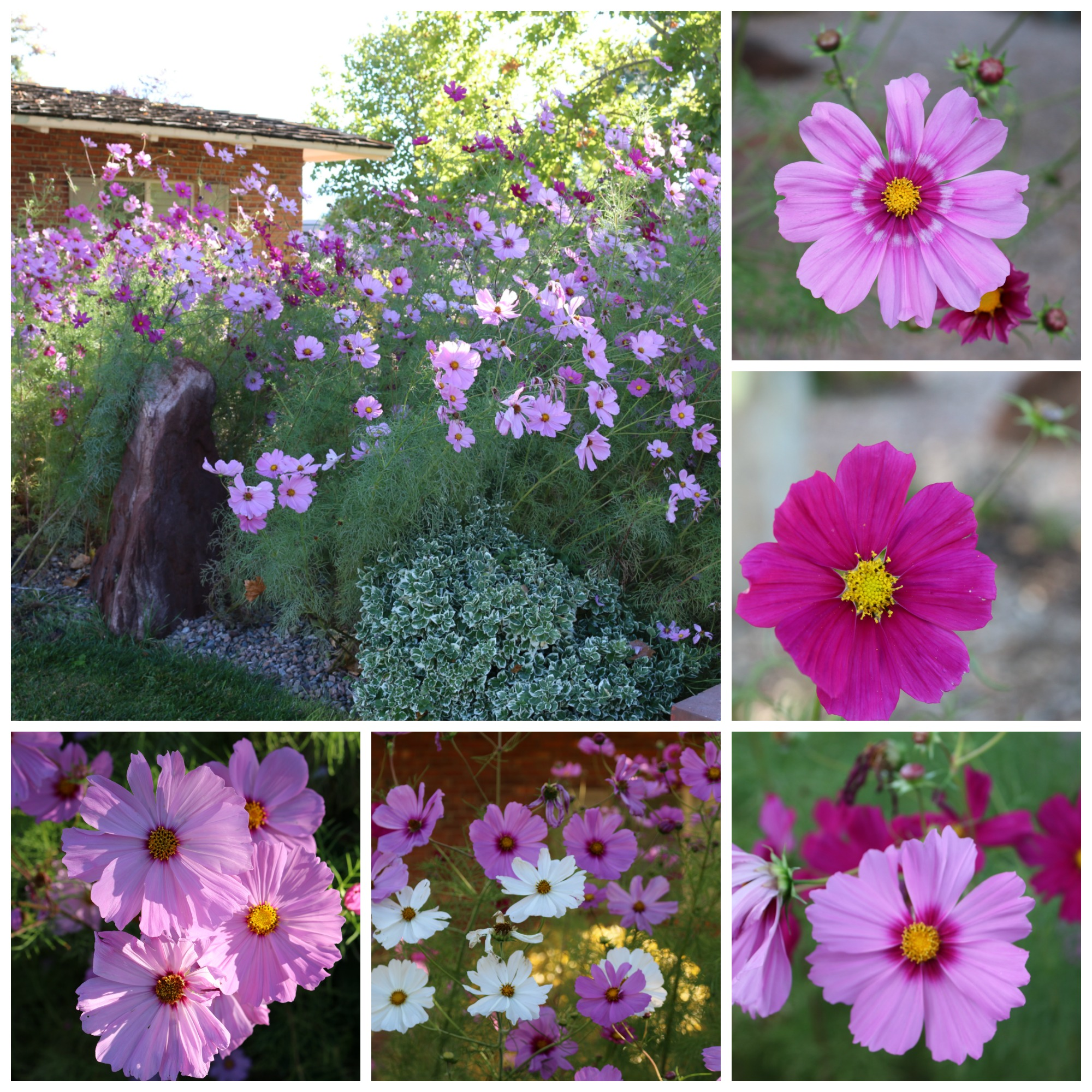New Mexico Cosmos - nearly 7 feet tall, I have never seen anything like it. All I did was water them. The flowers are enormous. The most beautiful COSMOS I have ever seen in my entire life. Absolutely breathtaking.
