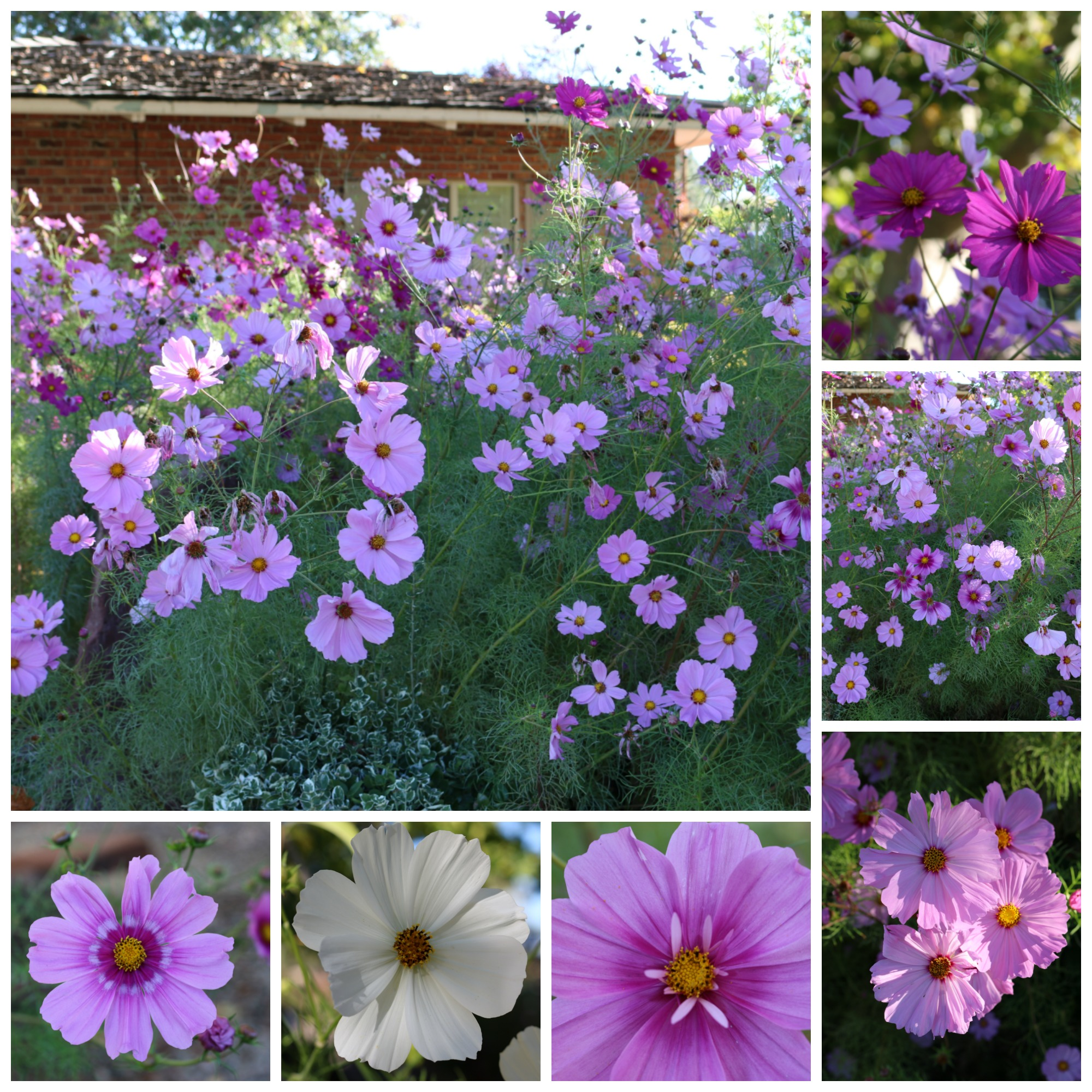 My cosmos are the most beautiful I have ever seen. I planted them in remembrance of my late Mother Katherine, who loved these flowers. They are nearly 7 feet tall. Spectacular!