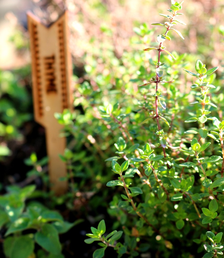 Thyme the Herb