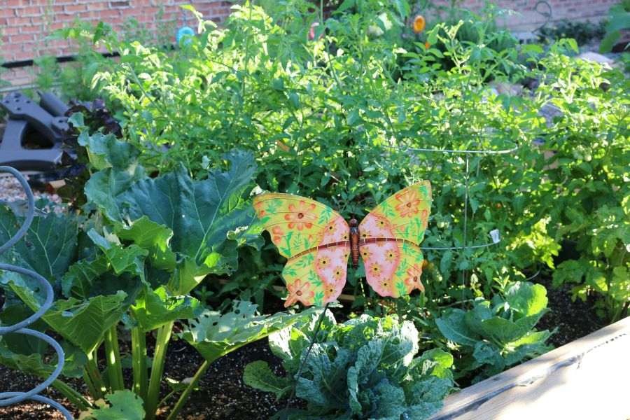 A picture of one of one of my garden beds. My rhubarb and tomatoes are doing so good this year!