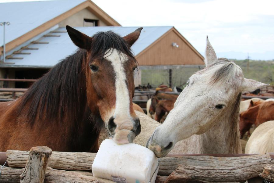 Tanque Verde Ranch horses