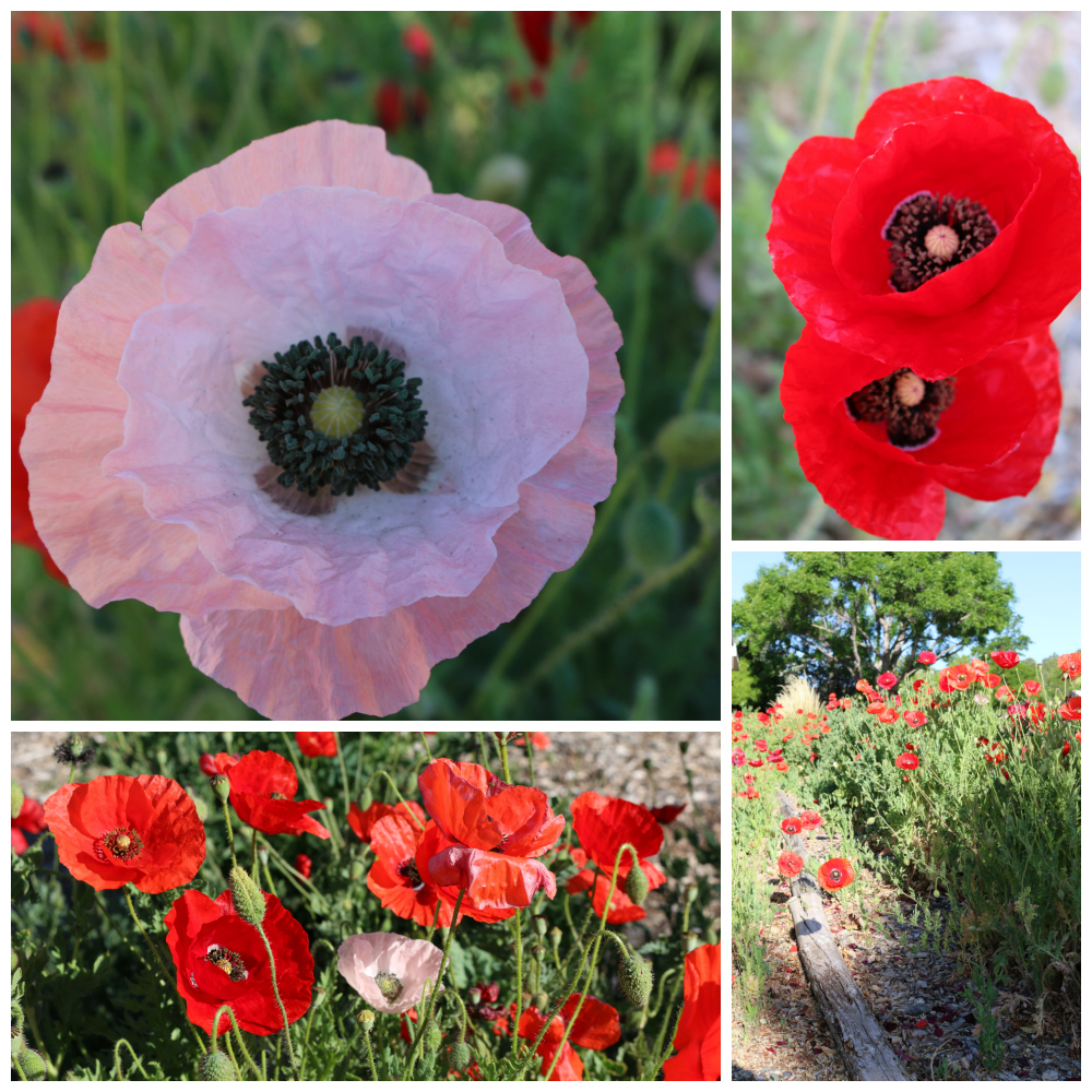 Poppies are one of my favorite flowers. They are just so beautiful. This year I harvested seeds from about 8 varieties of poppy flowers. They grow best when planted early in the spring around Valentine's day. I recommend using top soil because the seeds are so small they can easily blow away. | Growing the Good Life with CeceliasGoodStuff.com