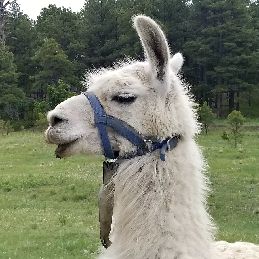 Tony the Llama - CeceliasGoodStuff.com - Yankee, New Mexico