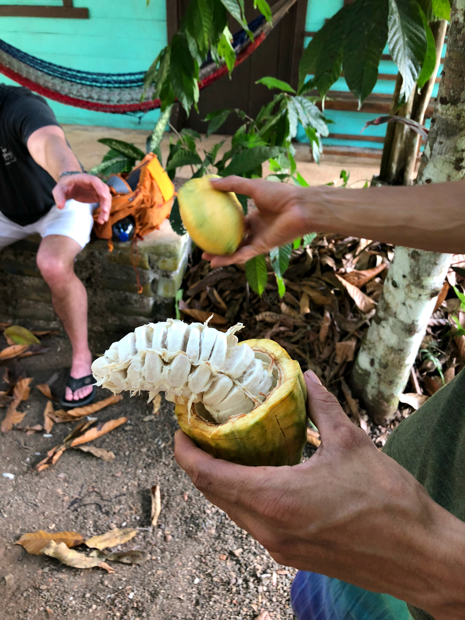 A cocoa fruit is cut open to expose the fruit inside. We tasted the fruit and it was delicious.
