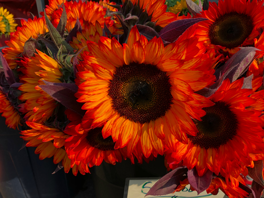 Fresh cut sunflowers from the Boulder Farmers Market held on Saturdays, in downtown Boulder, Colorado.