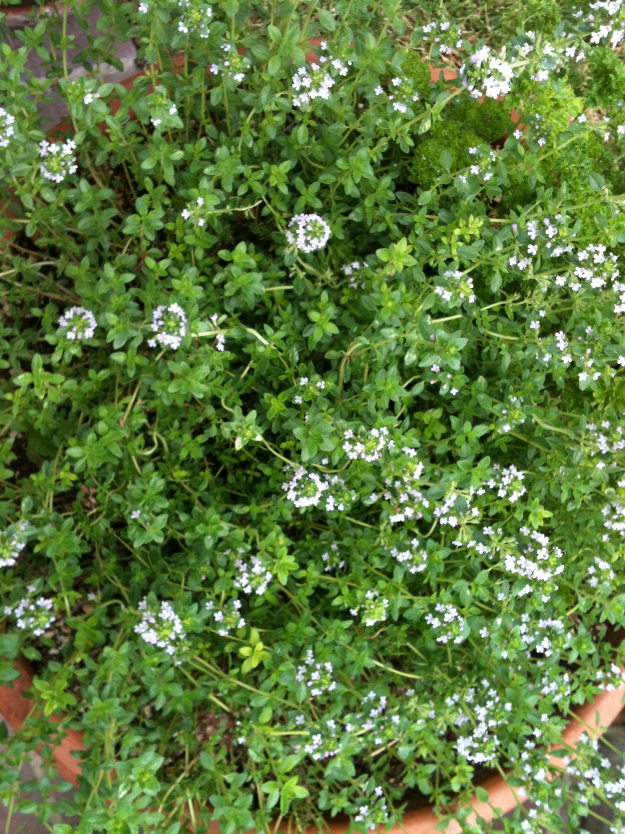 Lemon Thyme Blossoms in my herb garden. What an amazing fragrance. CeceliasGoodStuff.com